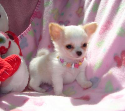 chihuahua-puppies-18